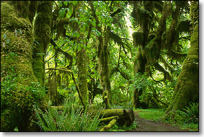 hall of mosses hoh rain forest olympic national park washington